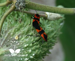 Red and black milkweed bugs mating