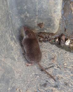 shrew mole 2
